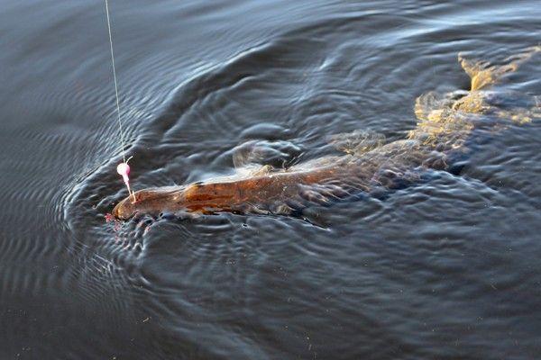 Pêche aux Carnassiers dans le Maine et Loire